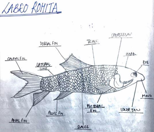 Labeo Rohita